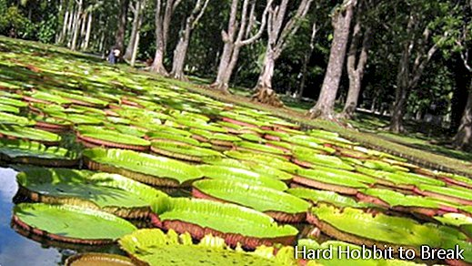 The Pamplemousses Botanical Garden in Mauritius