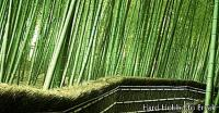 The Arashiyama Bamboo Forest in Japan