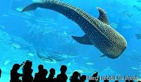 Okinawa Churaumi, one of the largest and most impressive aquariums in the world